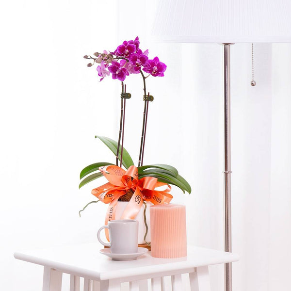 Mini Phalaenopsis Orchid (Purple)