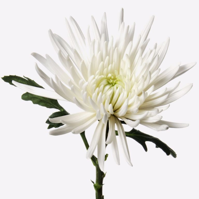 Seasonal chrysanthemum