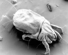 House dust mite close-up