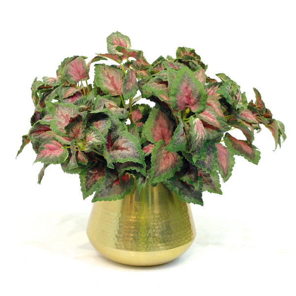 TRADE green coleus plant  (6 stems) - REDUCED - 40% OFF
