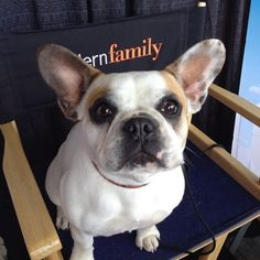 stella, bulldog from Modern Family