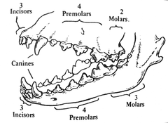 adult dog dentition