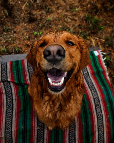 wet golden retriever