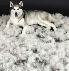 husky dog in pile of hair