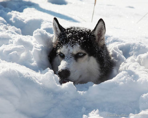 husky in snow hole