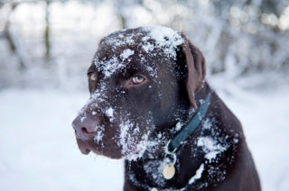 frostbite on chocolate lab