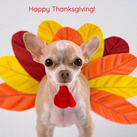 chihuahua dressed in a turkey costume