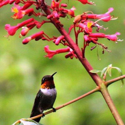 Plants For Hummingbirds
