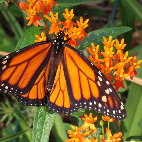 Butterfly Milkweed - Asclepias tuberosa - Plants For Pollinators