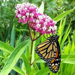 Red Milkweed - Asclepias incarnata - Plants For Pollinators