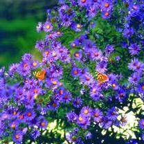 New England Aster - Symphyotrichum novae-angliae - Plants For Pollinators