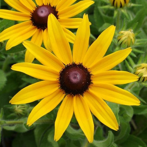 Black-Eyed Susan - Rudbeckia hirta - Plants For Pollinators