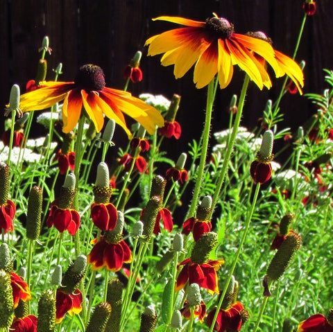 Southwest Wildflower Garden Mix - Plants For Pollinators