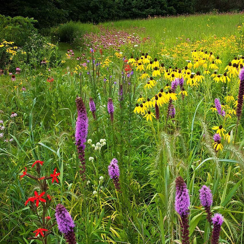 Northeast Wildflower Garden Mix