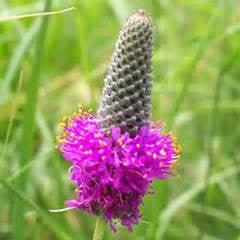 Purple Prairie Clover - Dalea purpurea - Plants For Pollinators