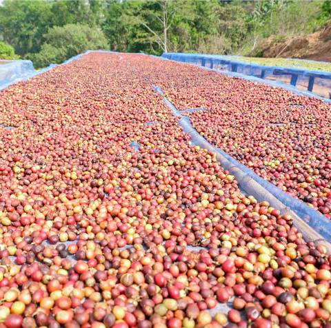 How does coffee processing affect flavour?