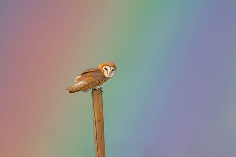 """Showers of Blessings"", Barn Owl. 12x8 inch Mounted Print"