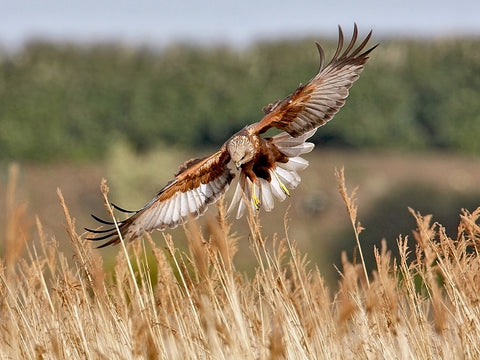 """In for the Kill', Marsh Harrier. 12x8 inch Mounted Print"