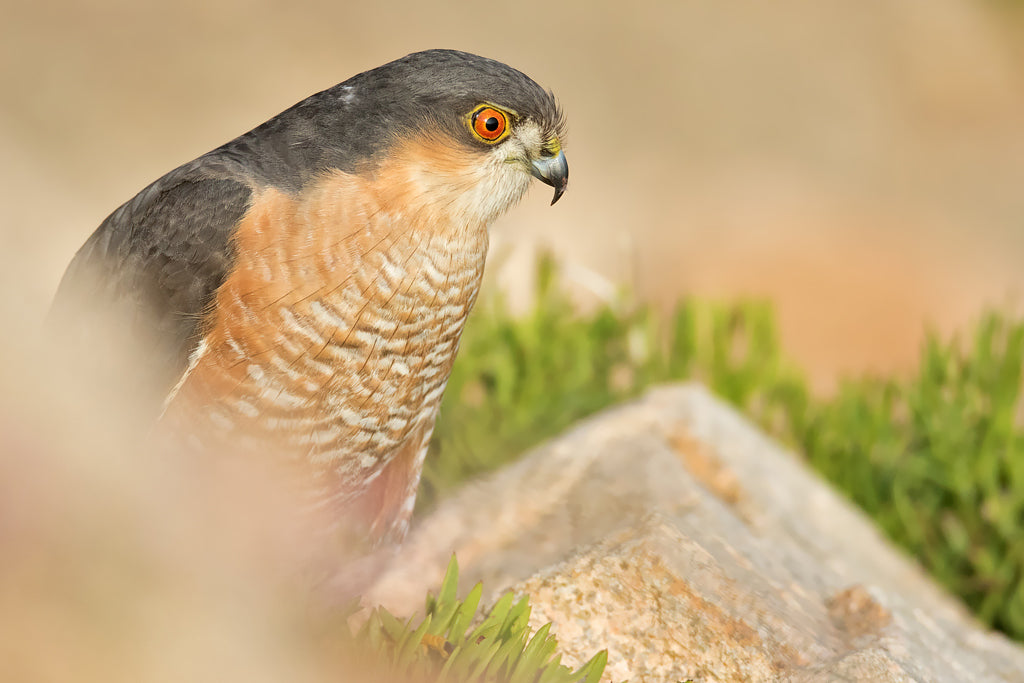 Sparrowhawk. 12x8 inch Mounted Print