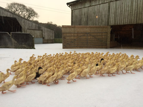 Yellow ducklings in the snow