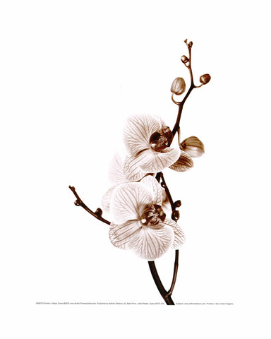 Orchids in Sepia Tones - Custom Framing, Art Prints, Framed Pictures, Ready Made Frames Artists Materials & more - Art Prints - art@home