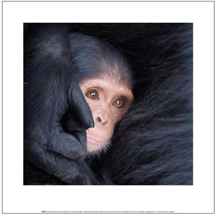 Mother & Baby Chimpanzee, Kenya - Art Print