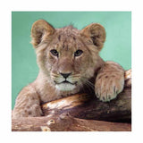 Inquisitive Cub Art Print Wallart Picture - Custom Framing, Art Prints, Framed Pictures, Ready Made Frames Artists Materials & more - Art Prints - art@home
