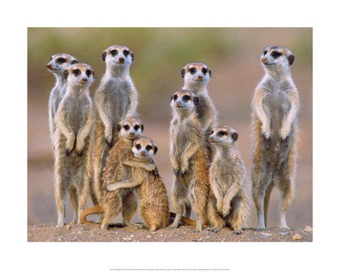 Meerkats on Guard Art Print Wallart Picture - Custom Framing, Art Prints, Framed Pictures, Ready Made Frames Artists Materials & more - Art Prints - art@home