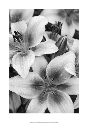 Black and White Lily - Art Print