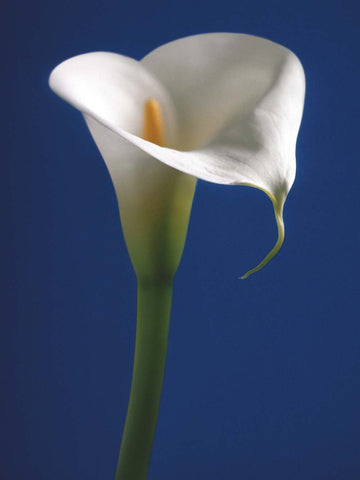 Calla on Blue 60x80cm Art Print Wallart Picture - Custom Framing, Art Prints, Framed Pictures, Ready Made Frames Artists Materials & more - Art Prints - art@home