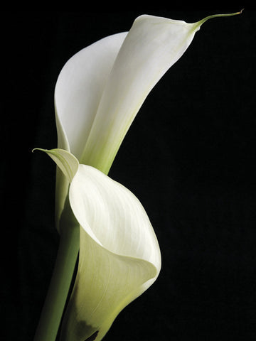 Calla II 60x80cm Art Print Wallart Picture - Custom Framing, Art Prints, Framed Pictures, Ready Made Frames Artists Materials & more - Art Prints - Mark Spain