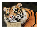 Lazy Tiger 60x80cm Art Print Wallart Picture - Custom Framing, Art Prints, Framed Pictures, Ready Made Frames Artists Materials & more - Art Prints - art@home