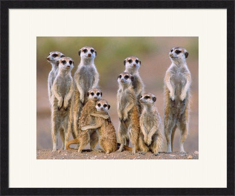 Meerkats on Guard -  Framed Art Print Poster Picture