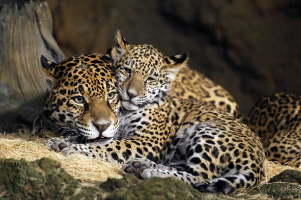 animal, cats, leopards, wild, jungle, dreaming, nice, stone, on, the, natgeo
