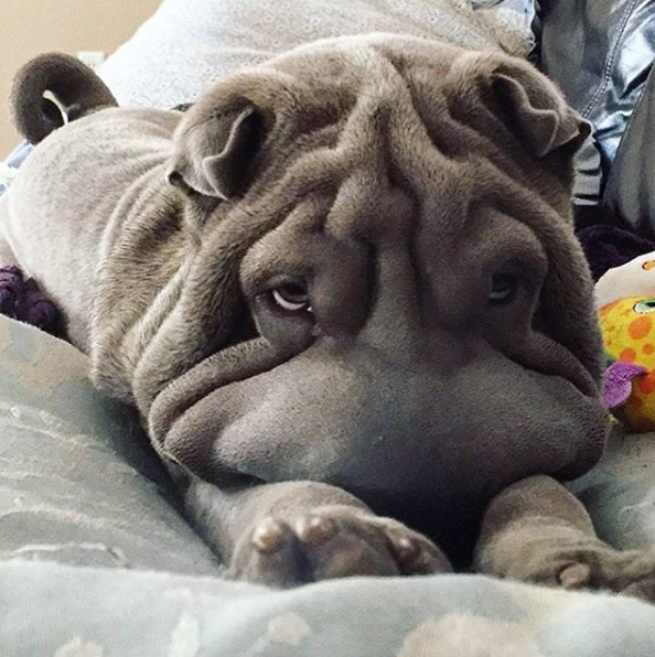 dog, funny, face, bulldog, smile, small, fun, legs, on, bed, wrinkly, looking, to, master