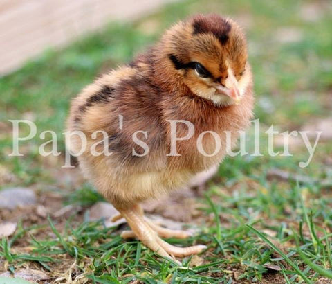 CYBER MONDAY-- All pullet packs, select your breed!!!