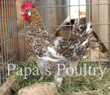 Auto-sexing- 55 Flowery Hen Hatching Egg