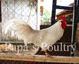 Auto-sexing- 55 Flowery Hen Hatching Egg (available now)