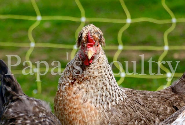 Auto-sexing- Cream Legbar Female Chick (pullet)- Hatch Date- 04/07/20