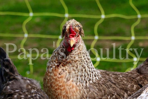 Auto-sexing- Cream Legbar Female Chick (split to lavender) (pullet)- (hatch date 11/17/20)