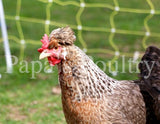 Auto-sexing- Cream Legbar Female Chick (one day old pullet)
