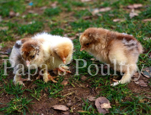 Brahma- Black/Blue/Splash Partridge Chick