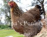 Brahma- Gold/Blue/Splash Partridge Chick