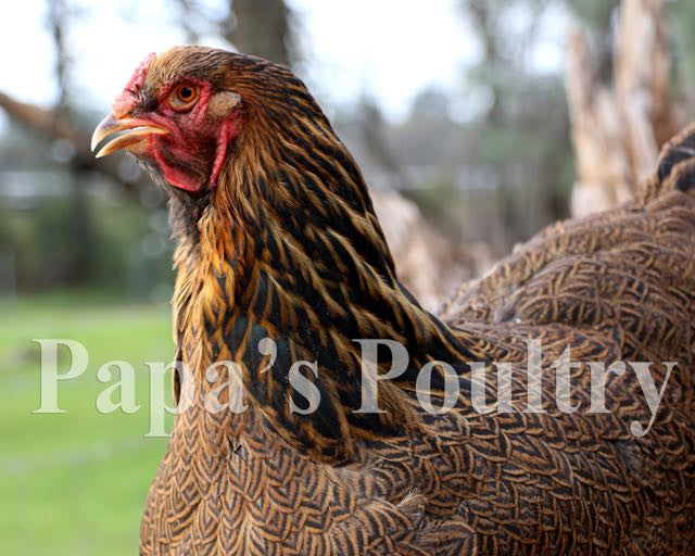 Brahma- Black/Blue/Splash Partridge Hatching Egg