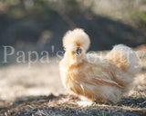 Bantam- Started Silkie Chick