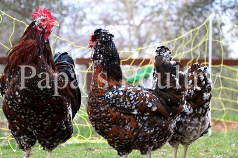 Jubilee and Tolbunt Polish cross chicks (4th generation)