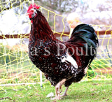 Jubilee and Tolbunt Polish cross chicks (4th generation) Hatch Date 05/05/20
