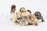 Bantams- Silkie, Sizzle frizzled and smooth possible, various colors chicks (hatch date 07/07/20)