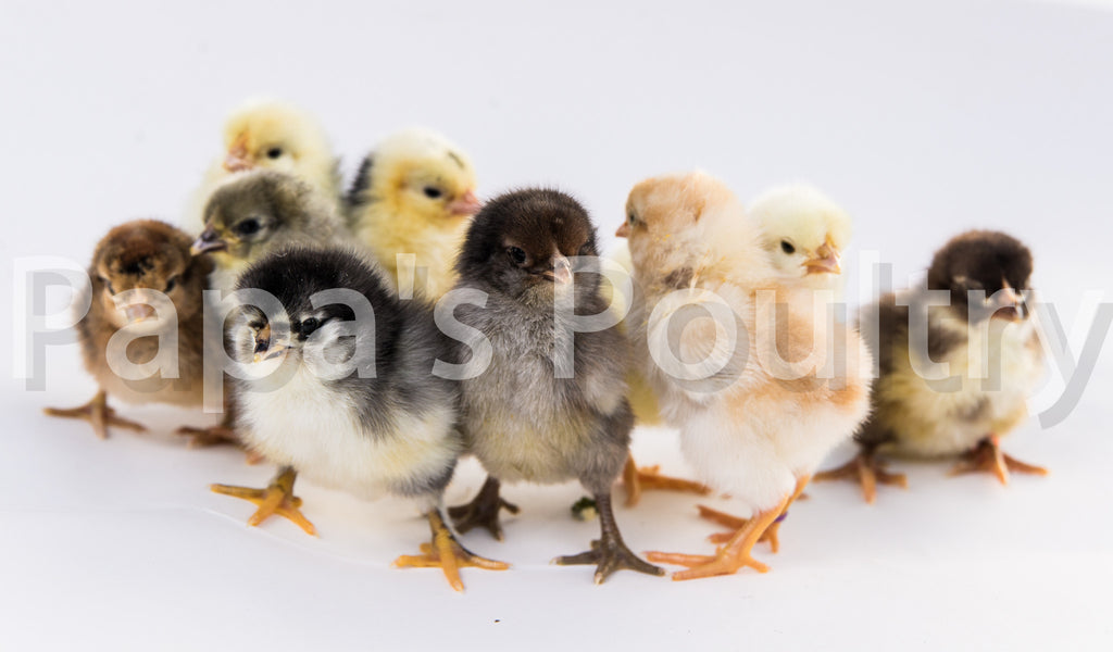 Rainbow egg laying Pack of Pullets- 6 chicks (hatch date 06/06/17)