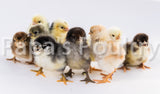 "Variety Pack of Pullets- 6 ""one-day old chicks"" (hatch date 07/28/20)"